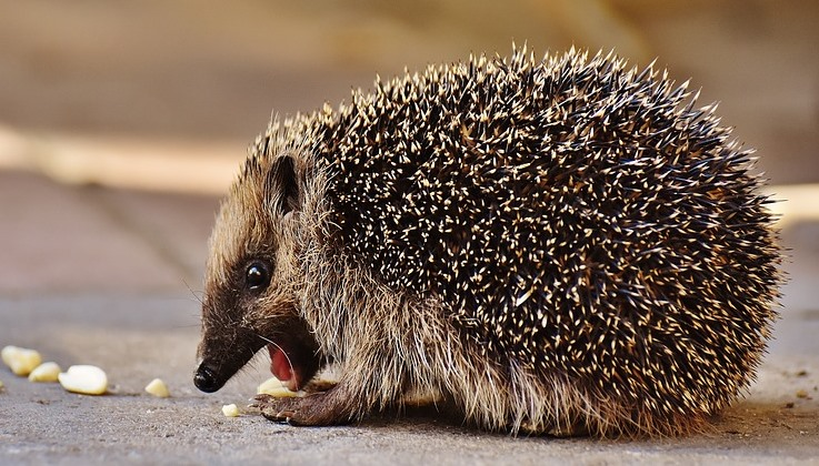 hedgehog child 1763664 960 720